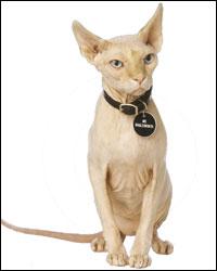 Austin Powers Hairless Cat Name