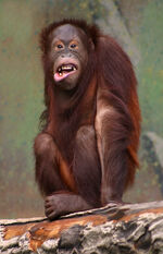 Pongo pygmaeus (orangutang)