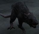 Schwarze Wolfsratte
