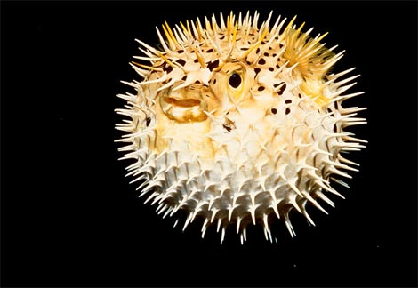Puffer for Types of puffer fish