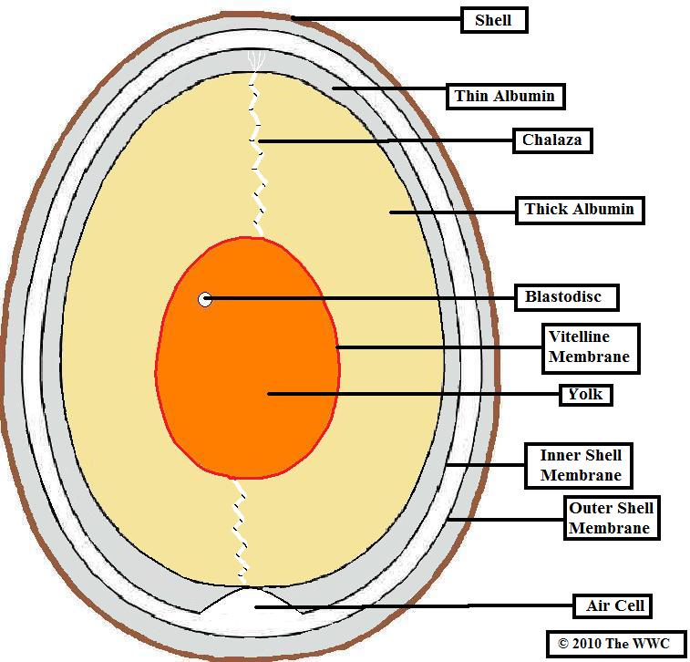 bird eggshell identification british wildlife wiki. Black Bedroom Furniture Sets. Home Design Ideas