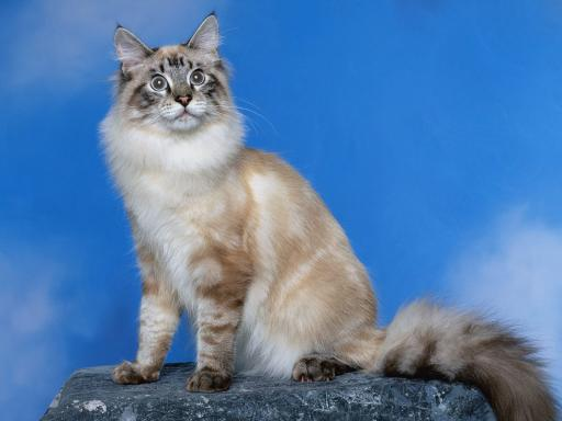 information alternative names lynx point siamese or tabby point ...