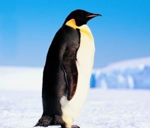 Penguins - Lessons - Tes Teach