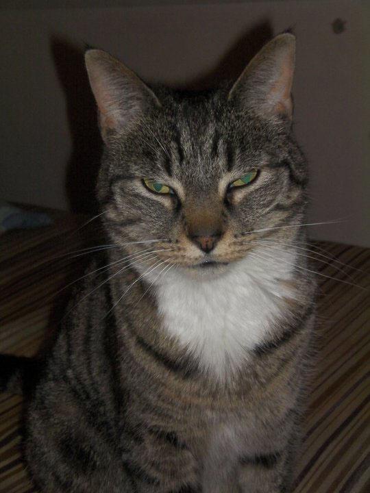 Tabby Cat - Cats Wiki