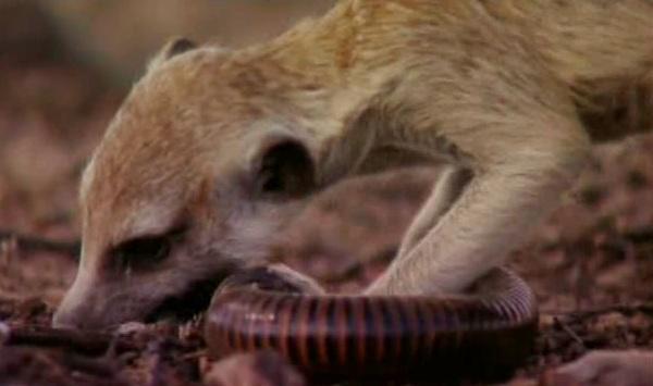 Meerkat eating snake - photo#21