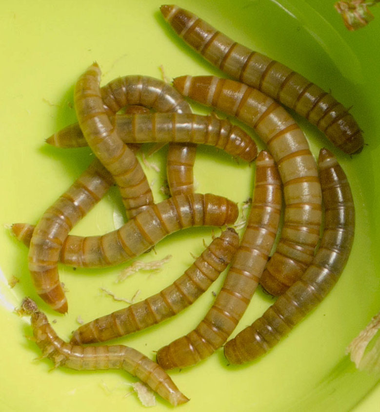 do mealworms like light or dark What do mealworms eat  has a unique dark colored head with a light colored flattened tail at first glance, you won't notice it, but the night crawlers.