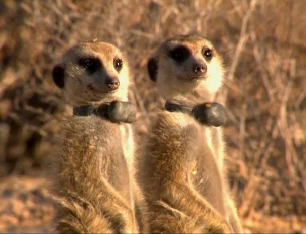 Rocket Dog Whiskers  Meerkats Of The Kalahari Wiki