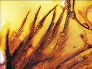 Dinosaur-Feathers-Found-in-Amber