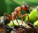 Hormiga Roja Europea