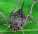 Ampycinae