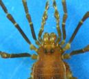 Escadabiidae