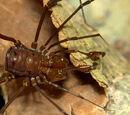Stygnidae