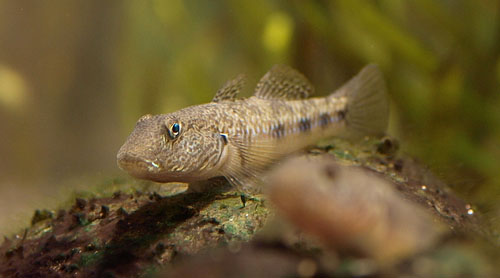 Freshwater goby animal crossing new leaf wiki for Freshwater goby fish