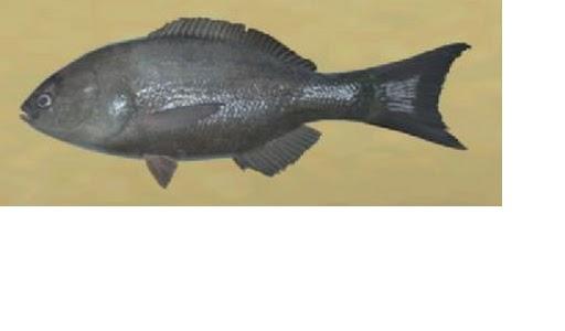 Smallscale Blackfish - Wii Fishing Resort Wiki King Of Herrings