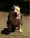 GalleryshapeshifterSam shift pitbull.png