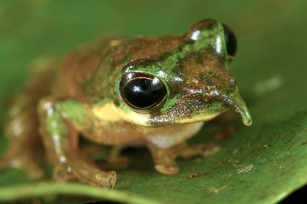 File:Foja-mountains-new-species-discovered-frog 20352 600x450.jpg