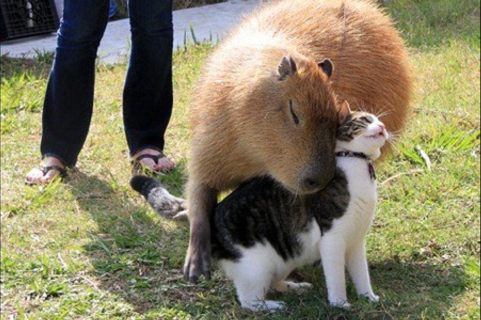 Image - O-CAPYBARA-HUGS-CAT-facebook.jpg - Whatever you want Wiki