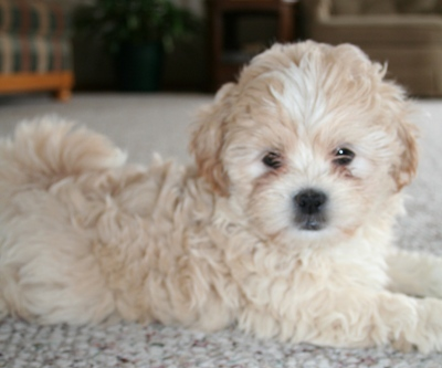 Shih-Poo - Dogs and Cats Wiki