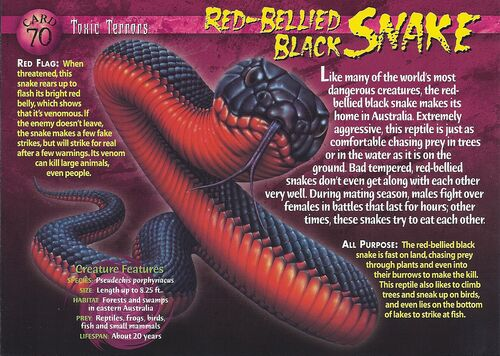 Northern Red Bellied Snake Wiki Red Bellied Black Snake