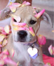 Free Sugar Baby Puppy Dog and Pink Rose Petals Creative Commons.jpg