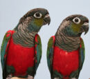 Crimson-bellied Parakeet