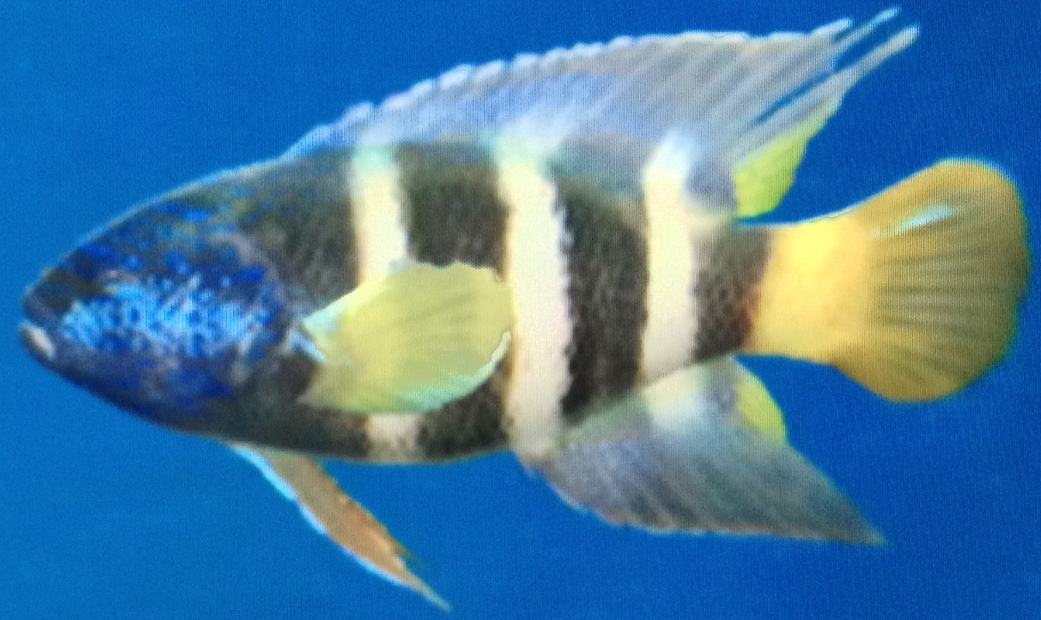 Eastern Blue Devil Fish - Wii Fishing Resort Wiki King Of Herrings