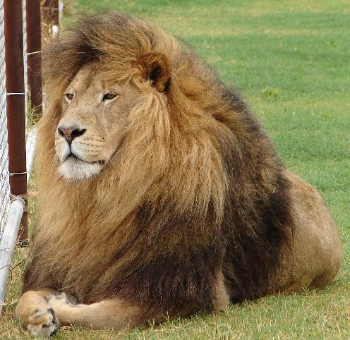 Barbary Lion Animal Database
