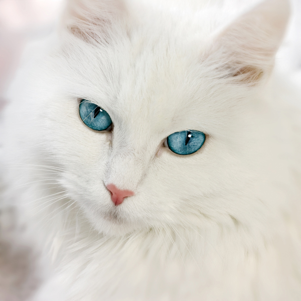 Image - 600px-white-cat-with-blue-eyes.jpg - Free Realms ...