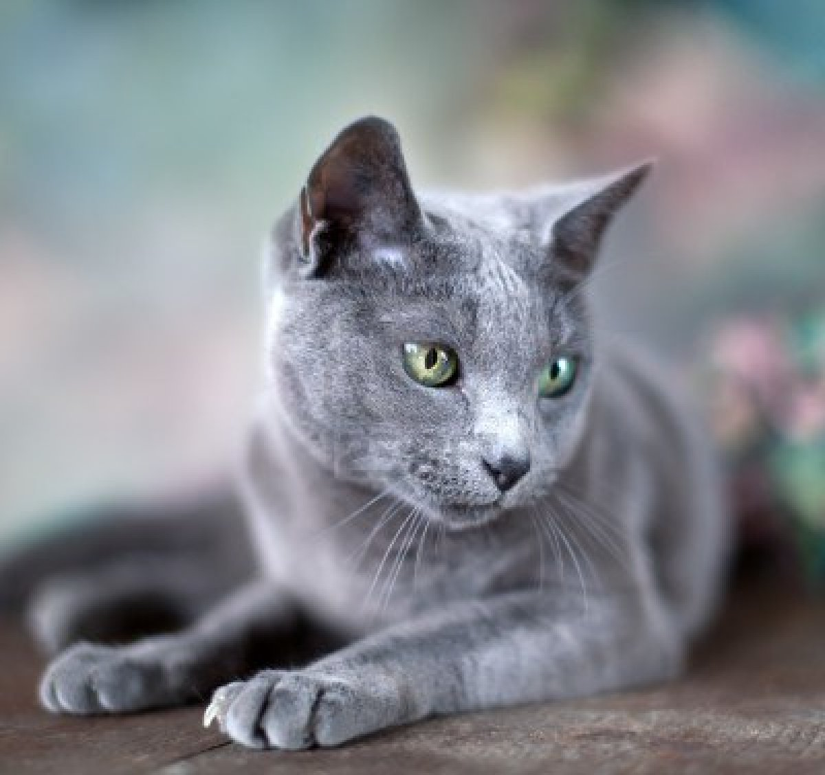 Image - Russian-blue-cat-7.jpg - Warriorcatclansrp Wiki ...