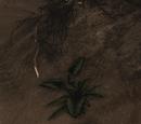 Kwiat czarnego lotosu