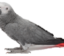 African Gray