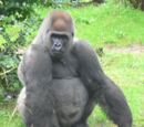 Poku the Gorilla