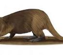 Beaver grow giant