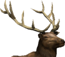 Bull Elk (2.7)