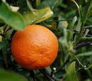 Tangerine (the fruit of the future)