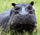 Hippos In South America