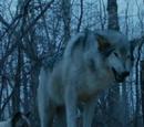 Nymeria (Schattenwolf)