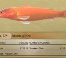 Akamuji Koi