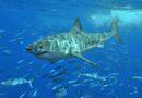 Weißer Hai.jpg