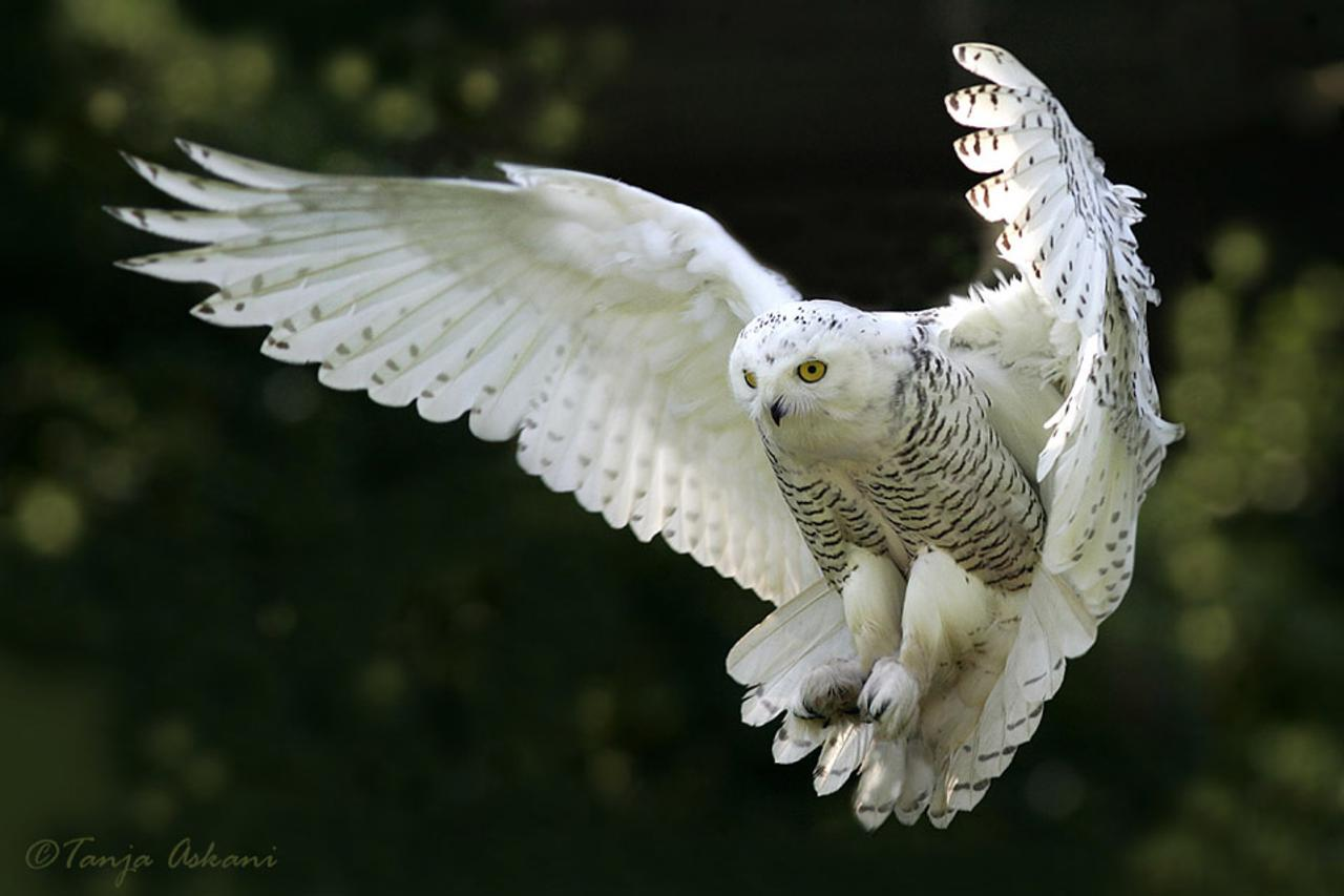 Lemmings fuel biggest snowy-owl migration in 50 years